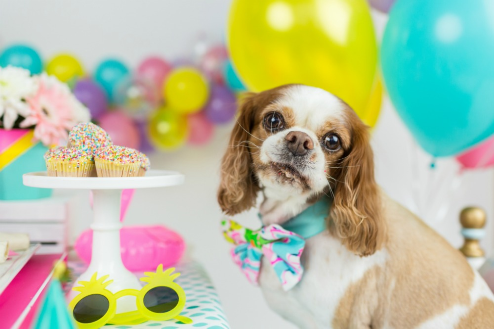 cavalier-king-charles-birthday