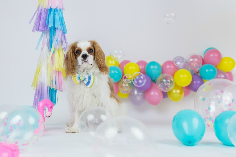 cavalier-king-charles-bow-tie-bubbles